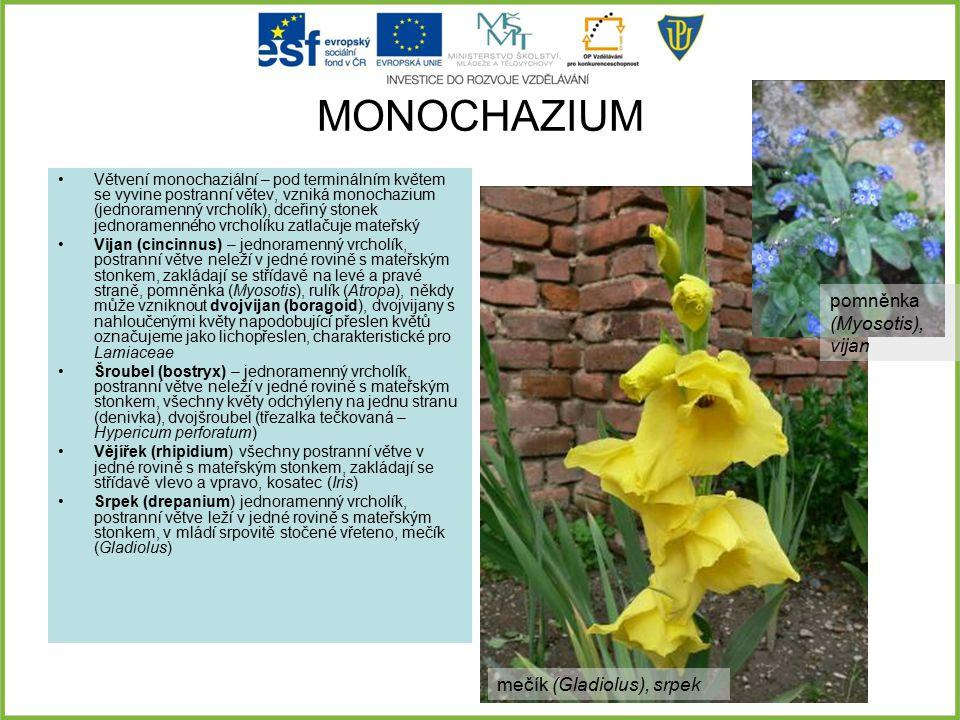MONOCHAZIUM Větvení monochaziální – pod terminálním květem se vyvine postranní větev, vzniká monochazium (jednoramenný vrcholík), dceřiný stonek jedno