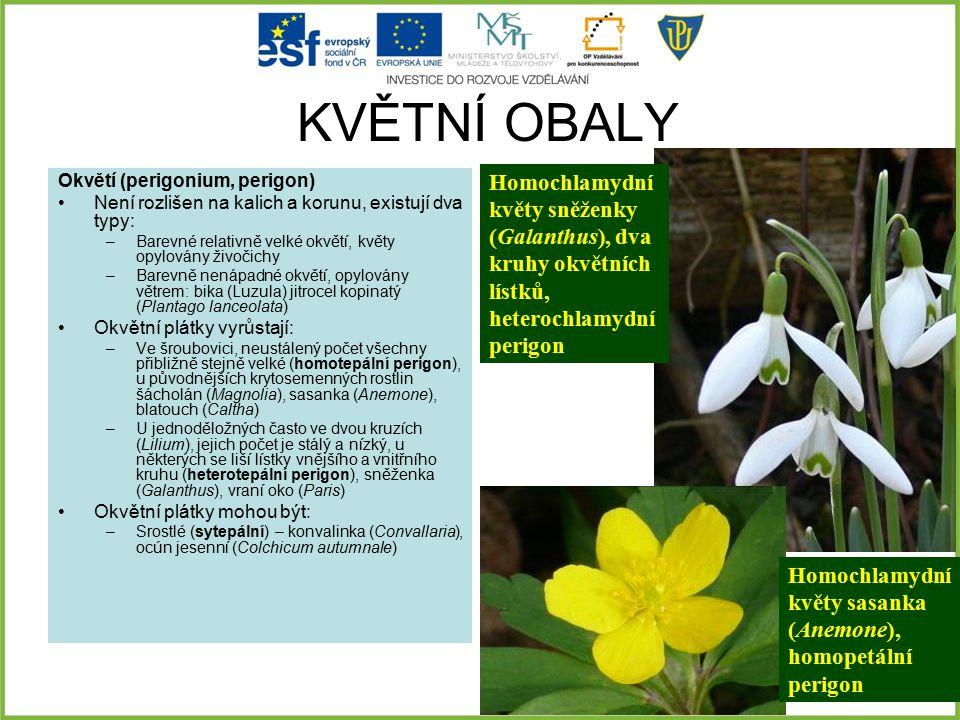 KVĚTNÍ OBALY Okvětí (perigonium, perigon) Není rozlišen na kalich a korunu, existují dva typy: –Barevné relativně velké okvětí, květy opylovány živoči