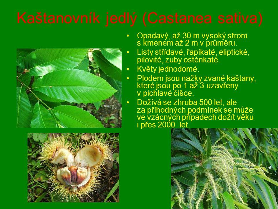 Kaštanovník jedlý (Castanea sativa) Opadavý, až 30 m vysoký strom s kmenem až 2 m v průměru. Listy střídavé, řapíkaté, eliptické, pilovité, zuby ostén