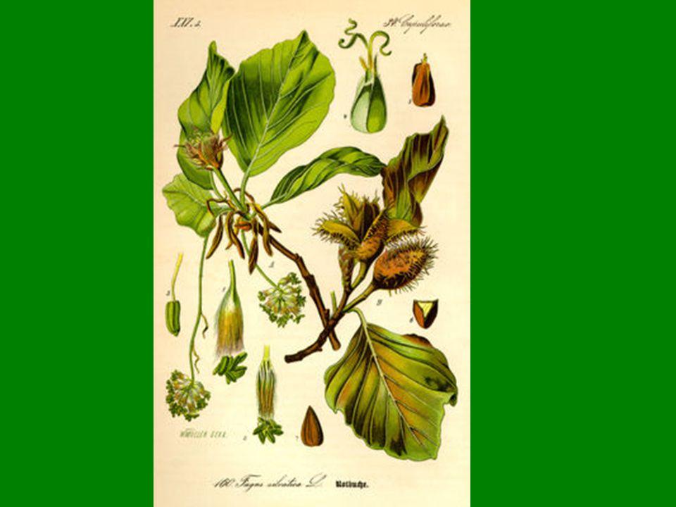 Dub zimní (Quercus petraea) Dub zimní dosahuje výšky 20 až 40 metrů a má vejčitou, štíhlou korunu, která je méně rozvětvená než koruna dubu letního.
