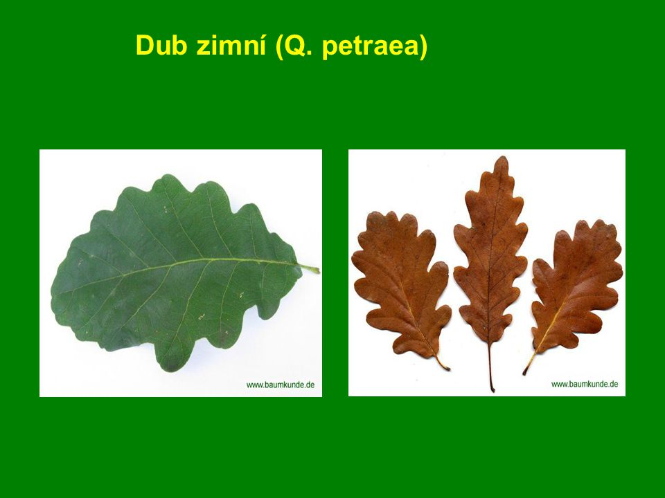 Dub letní (Quercus robur) Opadavý, velmi pomalu rostoucí, až 40 m vysoký strom.