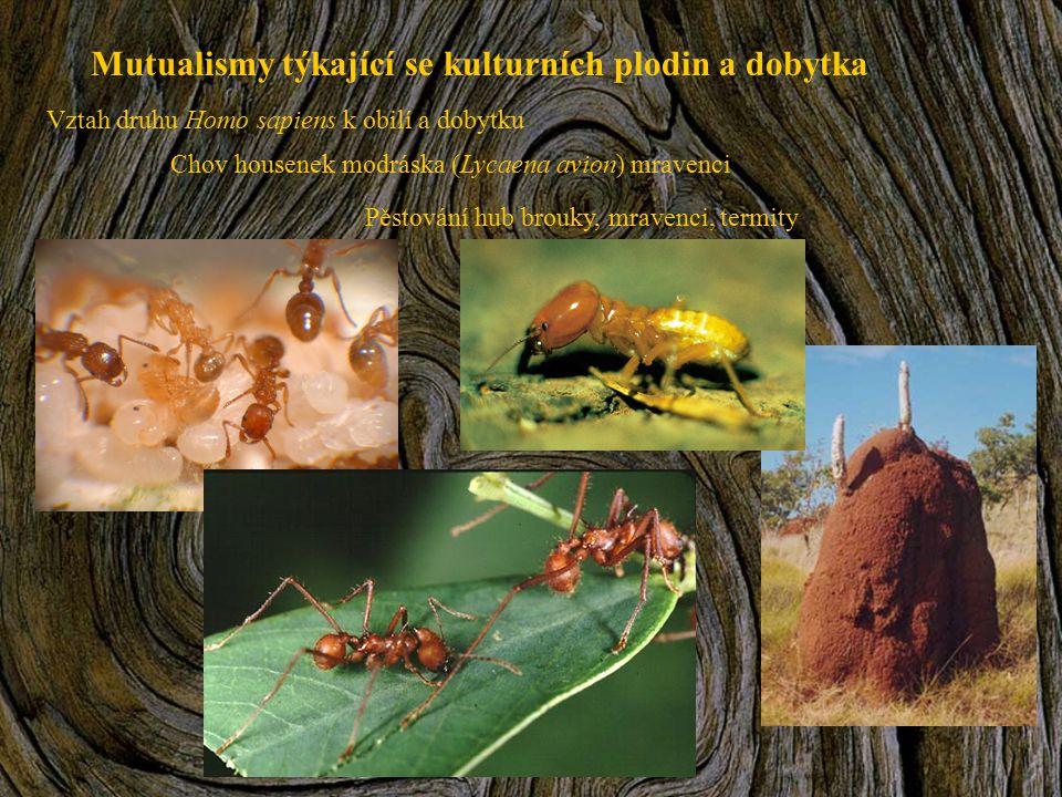 Mutualismy týkající se kulturních plodin a dobytka Vztah druhu Homo sapiens k obilí a dobytku Chov housenek modráska (Lycaena avion) mravenci Pěstován