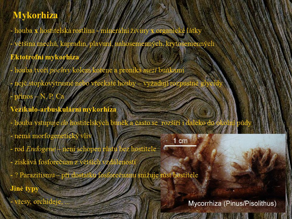 Mykorhiza - houba x hostitelská rostlina - minerální živiny x organické látky - většina mechů, kapradin, plavuní, nahosemenných, krytosemenných Ektotr