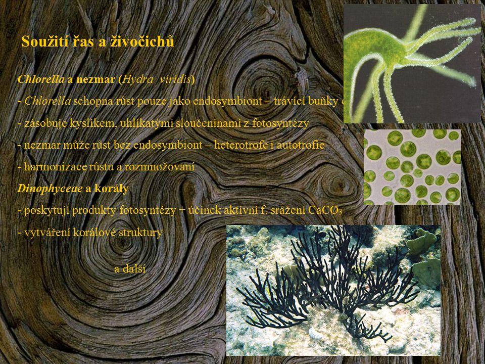 Soužití řas a živočichů Chlorella a nezmar (Hydra viridis) - Chlorella schopna růst pouze jako endosymbiont – trávící buňky endodermu - zásobuje kyslí