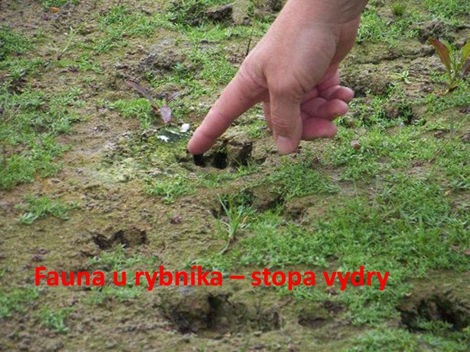 Fauna u rybníka – stopa vydry