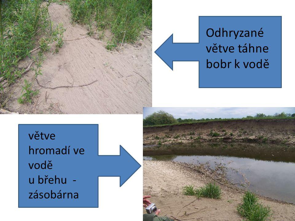 Bobr v akci větve hromadí ve vodě u břehu - zásobárna Odhryzané větve táhne bobr k vodě