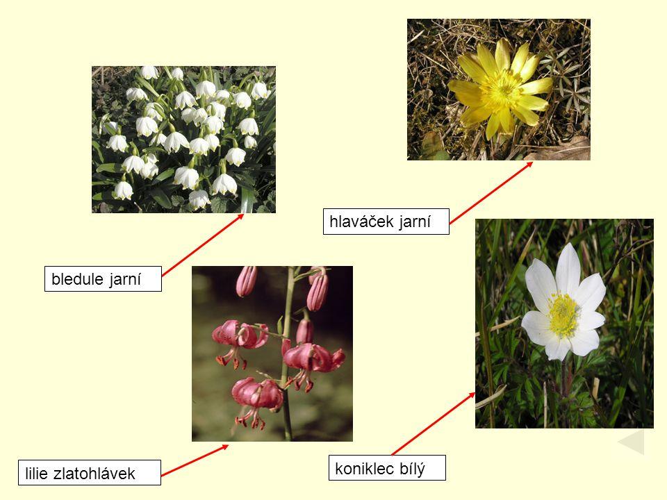 bledule jarní lilie zlatohlávek hlaváček jarní koniklec bílý