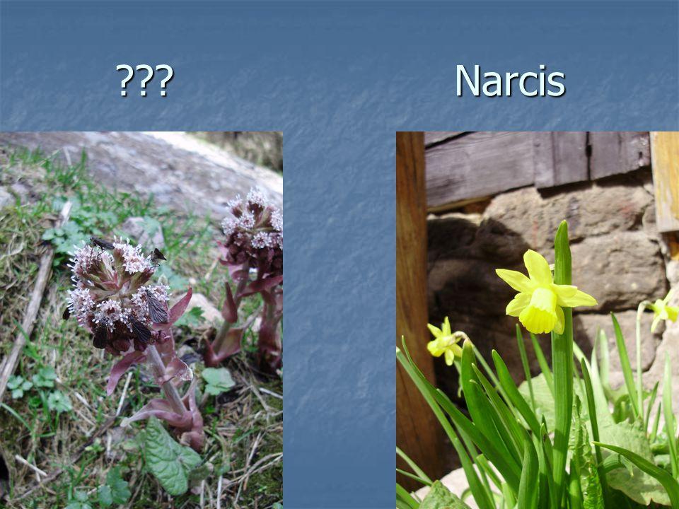 ???Narcis