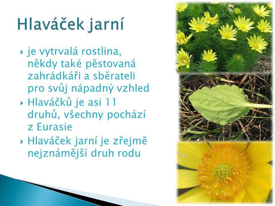  je vytrvalá rostlina, někdy také pěstovaná zahrádkáři a sběrateli pro svůj nápadný vzhled  Hlaváčků je asi 11 druhů, všechny pochází z Eurasie  Hl