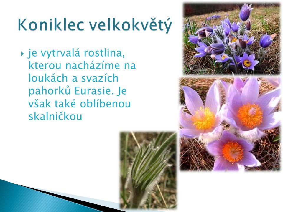  je vytrvalá rostlina, kterou nacházíme na loukách a svazích pahorků Eurasie. Je však také oblíbenou skalničkou