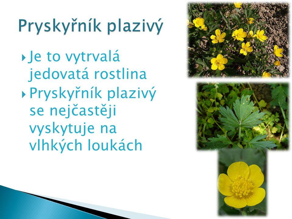  Je to vytrvalá jedovatá rostlina  Pryskyřník plazivý se nejčastěji vyskytuje na vlhkých loukách