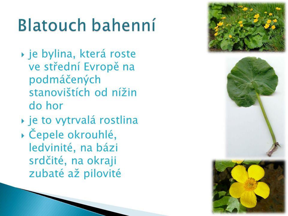  je bylina, která roste ve střední Evropě na podmáčených stanovištích od nížin do hor  je to vytrvalá rostlina  Čepele okrouhlé, ledvinité, na bázi