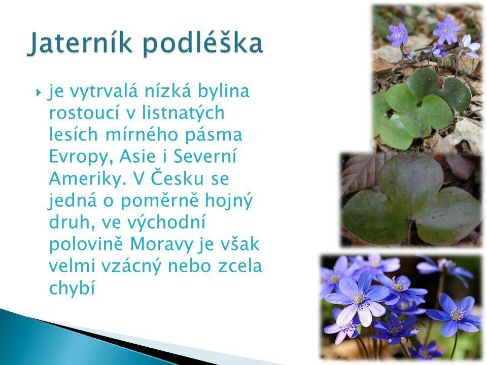  je vytrvalá nízká bylina rostoucí v listnatých lesích mírného pásma Evropy, Asie i Severní Ameriky. V Česku se jedná o poměrně hojný druh, ve východ