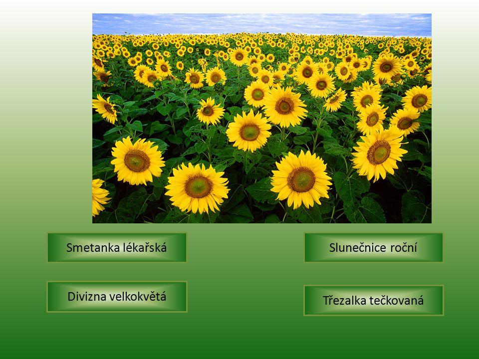 Slunečnice ročníSmetanka lékařská Třezalka tečkovaná Divizna velkokvětá