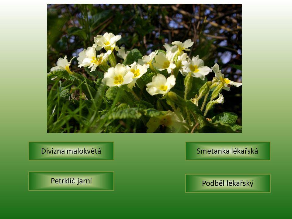 Petrklíč jarní Smetanka lékařská Podběl lékařský Divizna malokvětá