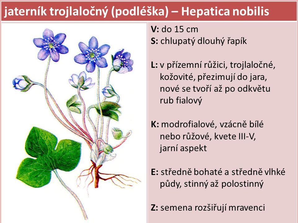 jaterník trojlaločný (podléška) – Hepatica nobilis V: do 15 cm S: chlupatý dlouhý řapík L: v přízemní růžici, trojlaločné, kožovité, přezimují do jara, nové se tvoří až po odkvětu rub fialový K: modrofialové, vzácně bílé nebo růžové, kvete III-V, jarní aspekt E: středně bohaté a středně vlhké půdy, stinný až polostinný Z: semena rozšiřují mravenci