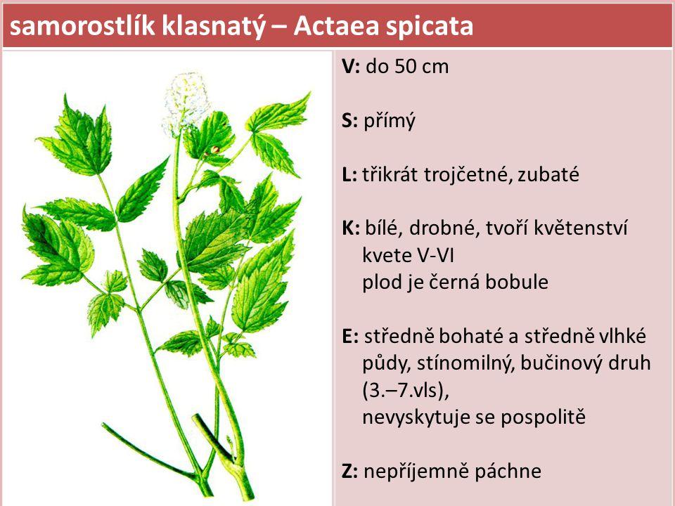 samorostlík klasnatý – Actaea spicata V: do 50 cm S: přímý L: třikrát trojčetné, zubaté K: bílé, drobné, tvoří květenství kvete V-VI plod je černá bobule E: středně bohaté a středně vlhké půdy, stínomilný, bučinový druh (3.–7.vls), nevyskytuje se pospolitě Z: nepříjemně páchne