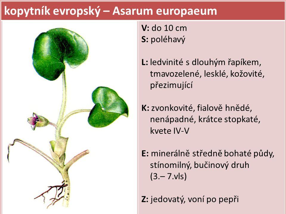 kopytník evropský – Asarum europaeum V: do 10 cm S: poléhavý L: ledvinité s dlouhým řapíkem, tmavozelené, lesklé, kožovité, přezimující K: zvonkovité, fialově hnědé, nenápadné, krátce stopkaté, kvete IV-V E: minerálně středně bohaté půdy, stínomilný, bučinový druh (3.– 7.vls) Z: jedovatý, voní po pepři