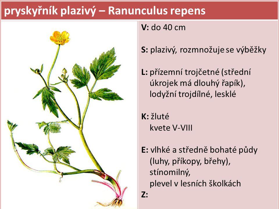 pryskyřník plazivý – Ranunculus repens V: do 40 cm S: plazivý, rozmnožuje se výběžky L: přízemní trojčetné (střední úkrojek má dlouhý řapík), lodyžní trojdílné, lesklé K: žluté kvete V-VIII E: vlhké a středně bohaté půdy (luhy, příkopy, břehy), stínomilný, plevel v lesních školkách Z: