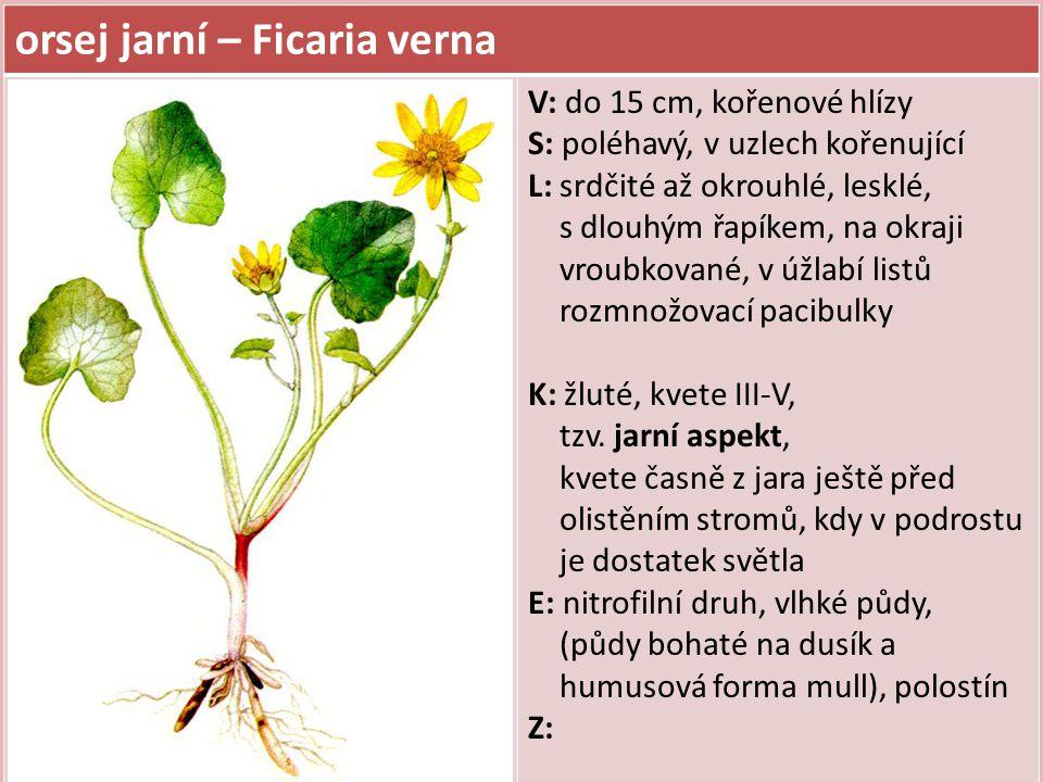 orsej jarní – Ficaria verna V: do 15 cm, kořenové hlízy S: poléhavý, v uzlech kořenující L: srdčité až okrouhlé, lesklé, s dlouhým řapíkem, na okraji
