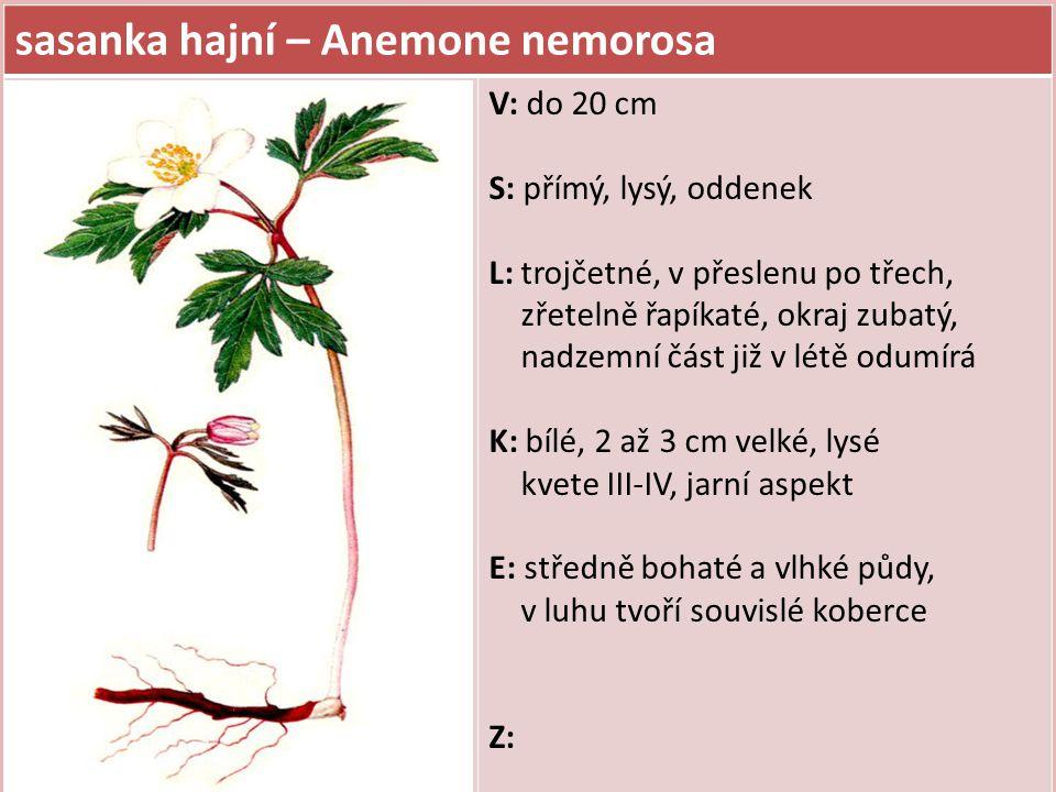 sasanka hajní – Anemone nemorosa V: do 20 cm S: přímý, lysý, oddenek L: trojčetné, v přeslenu po třech, zřetelně řapíkaté, okraj zubatý, nadzemní část již v létě odumírá K: bílé, 2 až 3 cm velké, lysé kvete III-IV, jarní aspekt E: středně bohaté a vlhké půdy, v luhu tvoří souvislé koberce Z:
