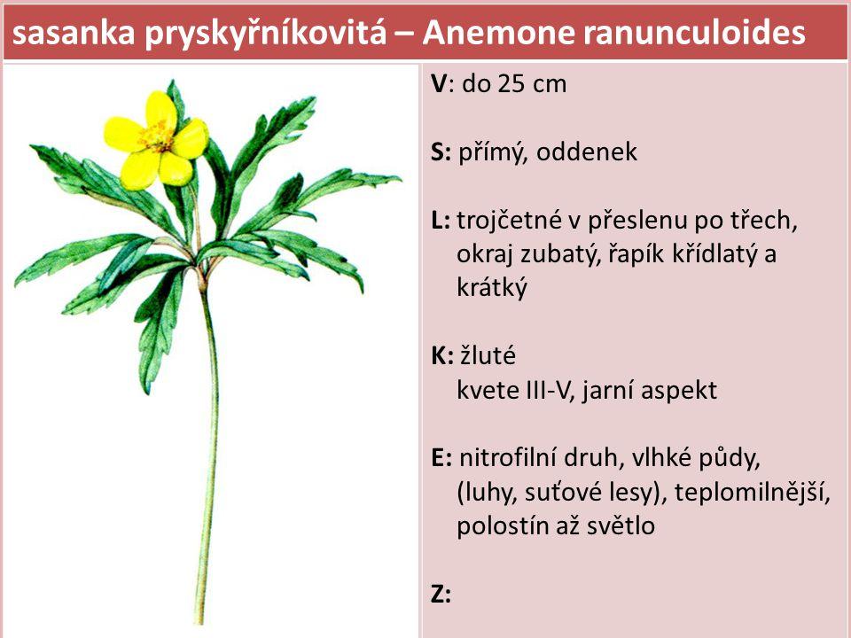 sasanka pryskyřníkovitá – Anemone ranunculoides V: do 25 cm S: přímý, oddenek L: trojčetné v přeslenu po třech, okraj zubatý, řapík křídlatý a krátký