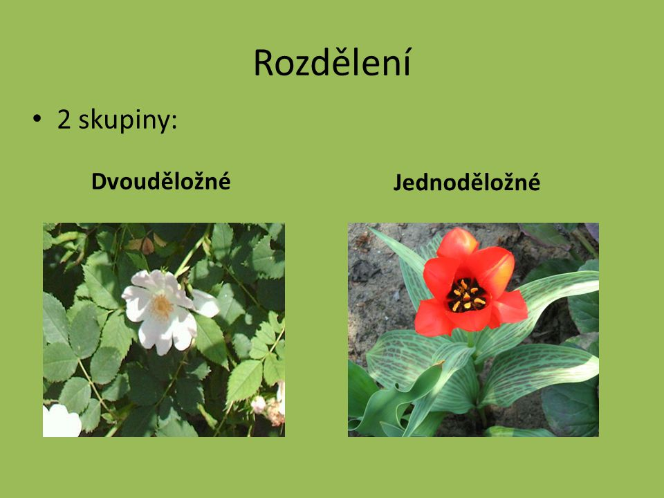 KRYTOSEMENNÉ ROSTLINY DVOUDĚLOŽNÉJEDNODĚLOŽNÉ Dělohy Kořen Cévní svazky Listy Žilnatina Květy klíčí dvěma dělohami vytrvává hlavní kořen klíčí jednou dělohou hlavní kořen zakrní, tvoří se kořeny adventivní kruhovitě uspořádány rozptýleny řapíkaté přisedlé zpeřená nebo dlanitá souběžná pěti- nebo čtyřčetné, kalich a koruna trojčetné, okvětí