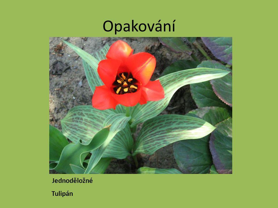 Opakování Jednoděložné Tulipán