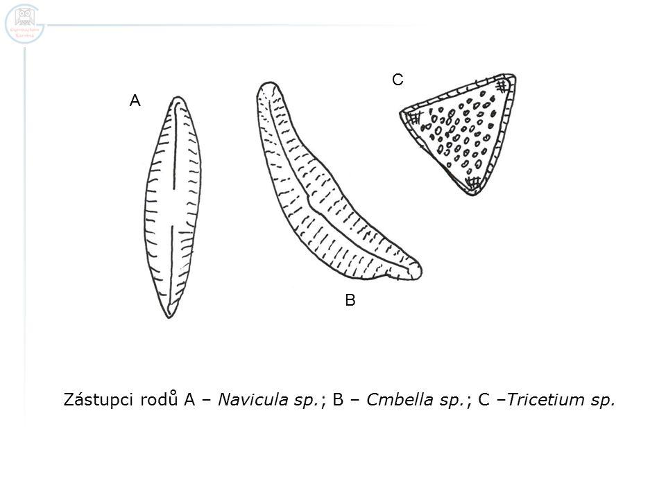 Zástupci rodů A – Navicula sp.; B – Cmbella sp.; C –Tricetium sp. A B C
