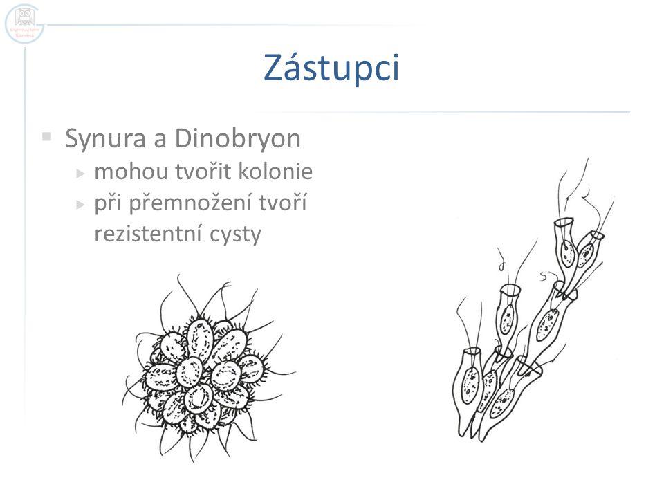 Zástupci  Synura a Dinobryon  mohou tvořit kolonie  při přemnožení tvoří rezistentní cysty