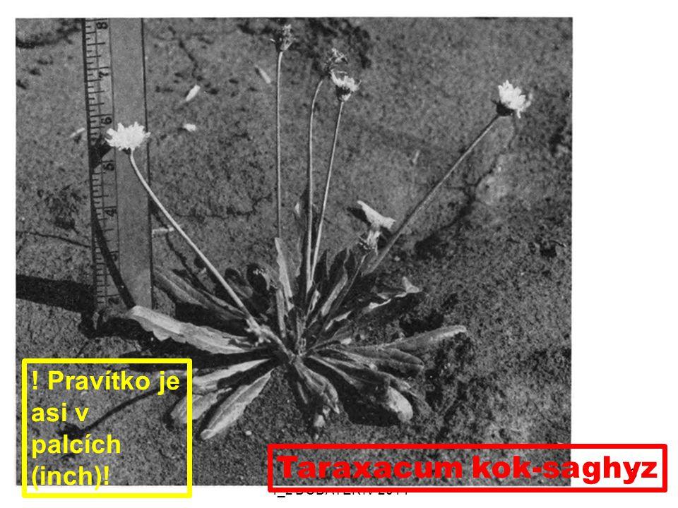 8. 10. 2014PŘÍRODNÍ POLYMERY PŘF MU 4_2 DODATEK IV 2014 3 Taraxacum kok-saghyz ! Pravítko je asi v palcích (inch)!
