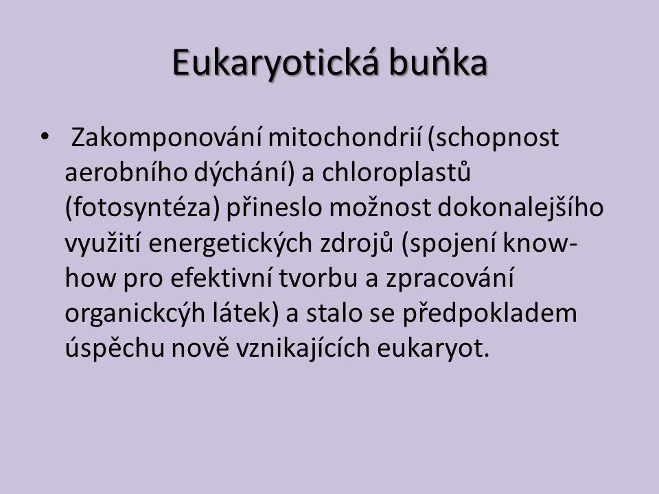 Eukaryotická buňka Zakomponování mitochondrií (schopnost aerobního dýchání) a chloroplastů (fotosyntéza) přineslo možnost dokonalejšího využití energetických zdrojů (spojení know- how pro efektivní tvorbu a zpracování organickcýh látek) a stalo se předpokladem úspěchu nově vznikajících eukaryot.