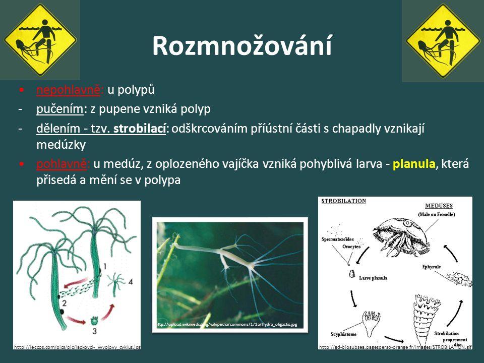 Rozmnožování nepohlavně: u polypů -pučením: z pupene vzniká polyp -dělením - tzv. strobilací: odškrcováním příústní části s chapadly vznikají medúzky