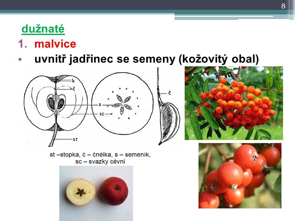 dužnaté 1.malvice uvnitř jadřinec se semeny (kožovitý obal) 8