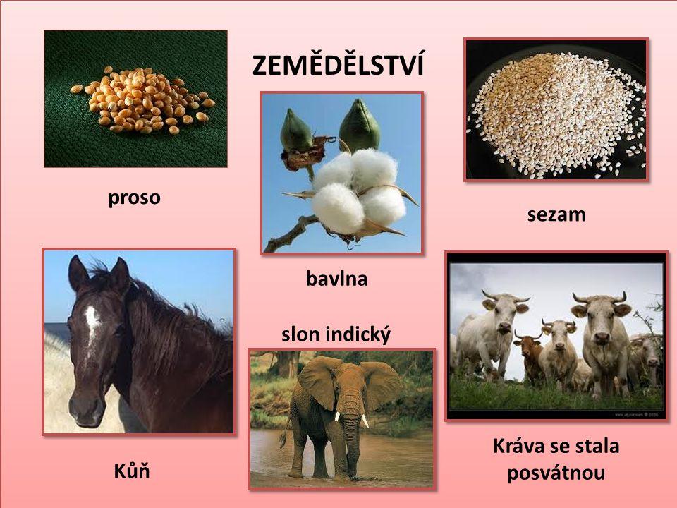 ZEMĚDĚLSTVÍ proso Kůň bavlna slon indický sezam Kráva se stala posvátnou