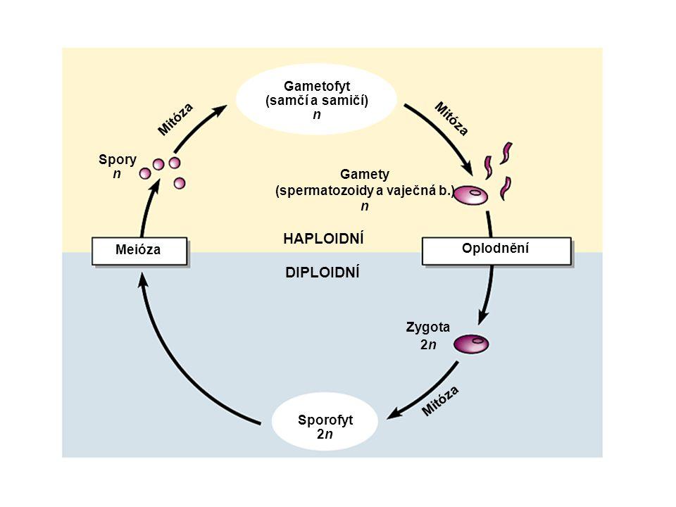 Popis obecného schématu rodozměny 1.Ze spor vzniká mitózou gametofyt /n/ s pohlavními orgány /gametangia/ a s pohlavními buňkami /gamety/ 2.