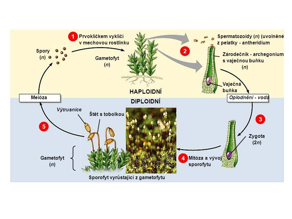 1.Spory vyklíčí prvoklíčkem v zelenou mechovou rostlinku /gametofyt – n/ 2.V pelatkách a zárodečnících dozrají pohlavní buňky – spermatozoidy a vaječné buňky 3.Oplodněním v kapce vody vzniká zygota /2n/ 4.Mitózou vzniká sporofyt /2n/ - štět s tobolkou 5.V tobolce vznikají výtrusy meiózou Popis rodozměny mechorostů G>S