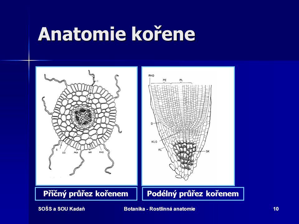 SOŠS a SOU KadaňBotanika - Rostlinná anatomie9 Anatomie kořene A) podélný průřez B) 1 - kořenová čepička, 2 - kořenové vlásky C) příčný průřez: 1 střední válec, 2 kořenové vlásky, 4 rhizodermis