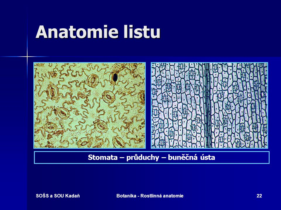 SOŠS a SOU KadaňBotanika - Rostlinná anatomie21 Anatomie listu