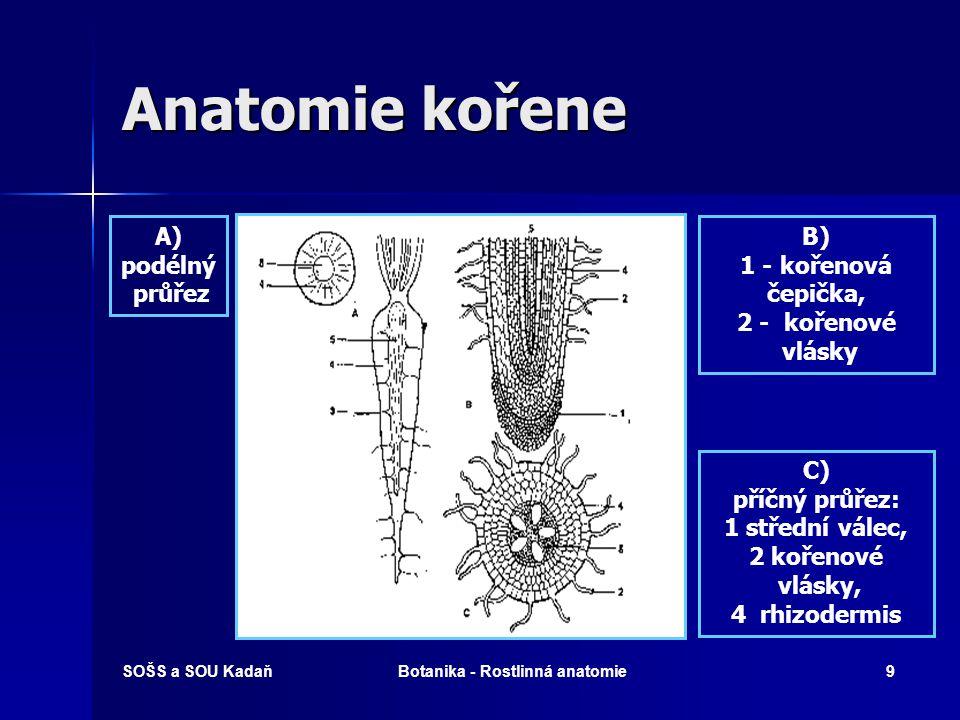 SOŠS a SOU KadaňBotanika - Rostlinná anatomie8 Anatomie kořene Rhizodermis s kořenovými vlásky