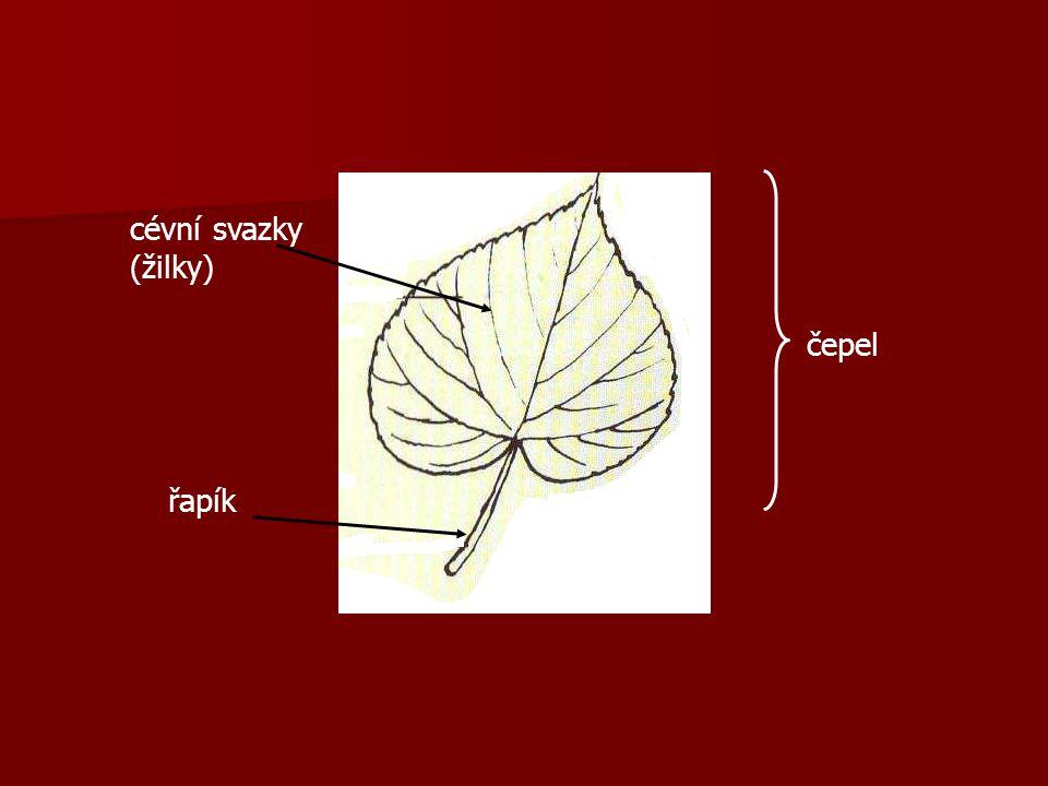 cévní svazky (žilky) čepel řapík