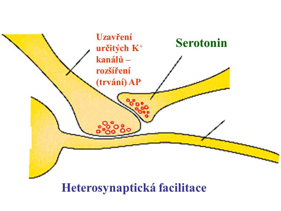 Serotonin Uzavření určitých K + kanálů – rozšíření (trvání) AP Heterosynaptická facilitace