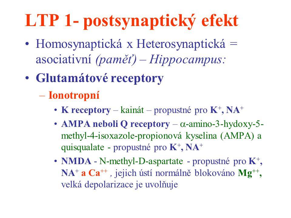 LTP 1- postsynaptický efekt Homosynaptická x Heterosynaptická = asociativní (paměť) – Hippocampus: Glutamátové receptory –Ionotropní K receptory – kai
