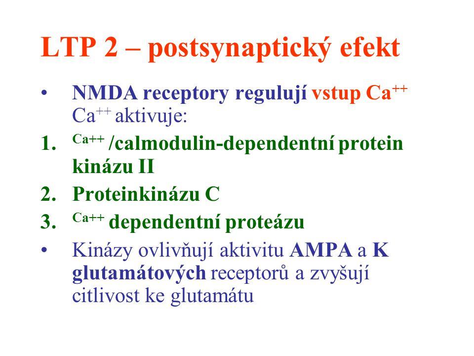 LTP 2 – postsynaptický efekt NMDA receptory regulují vstup Ca ++ Ca ++ aktivuje: 1. Ca++ /calmodulin-dependentní protein kinázu II 2.Proteinkinázu C 3