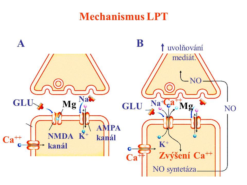 Mechanismus LPT GLU Mg NMDA kanál Ca ++ K+K+ Na + AMPA kanál GLU Ca ++ Na + K+K+ Mg Zvýšení Ca ++ NO syntetáza NO uvolňování mediát. AB