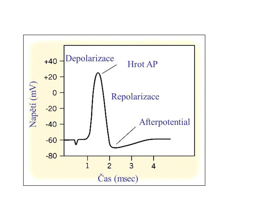 Hrot AP Afterpotential Depolarizace Repolarizace Napětí (mV) Čas (msec)