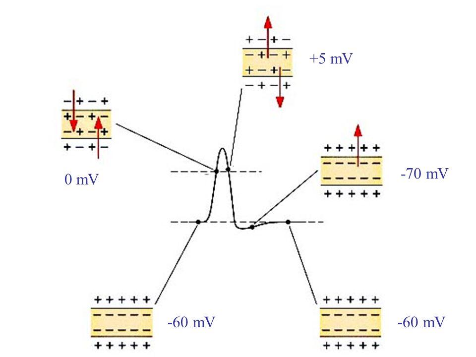 -60 mV 0 mV +5 mV -70 mV -60 mV