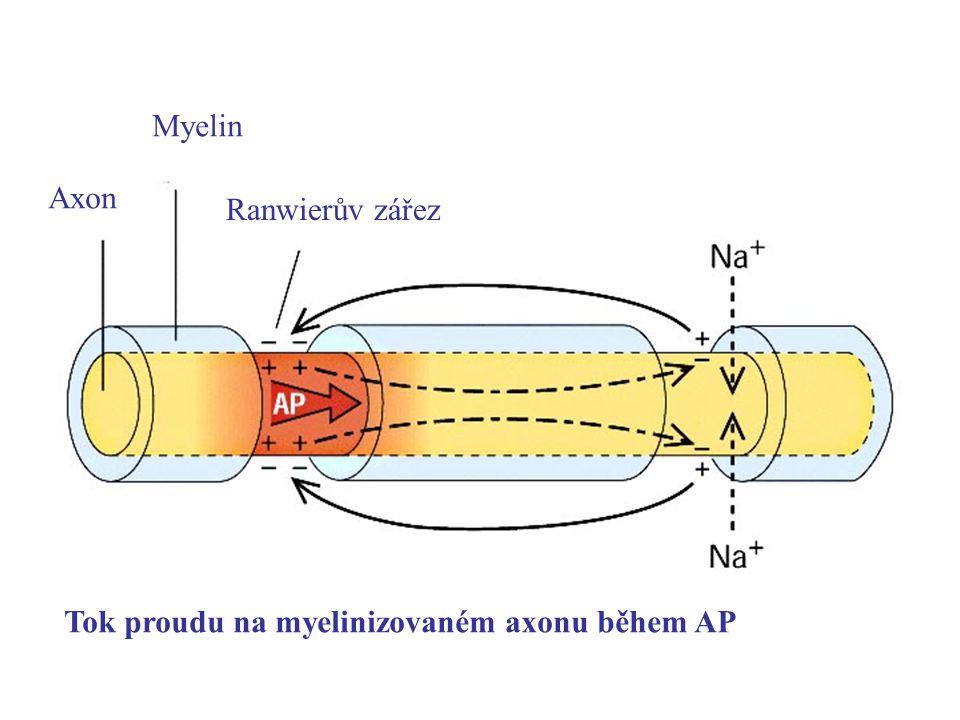 Axon Myelin Ranwierův zářez Tok proudu na myelinizovaném axonu během AP