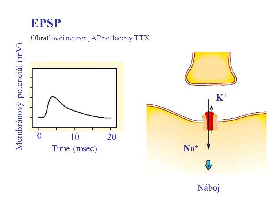 EPSP Obratlovčí neuron, AP potlačeny TTX Time (msec) 1020 0 Membránový potenciál (mV) Náboj Na + K+K+