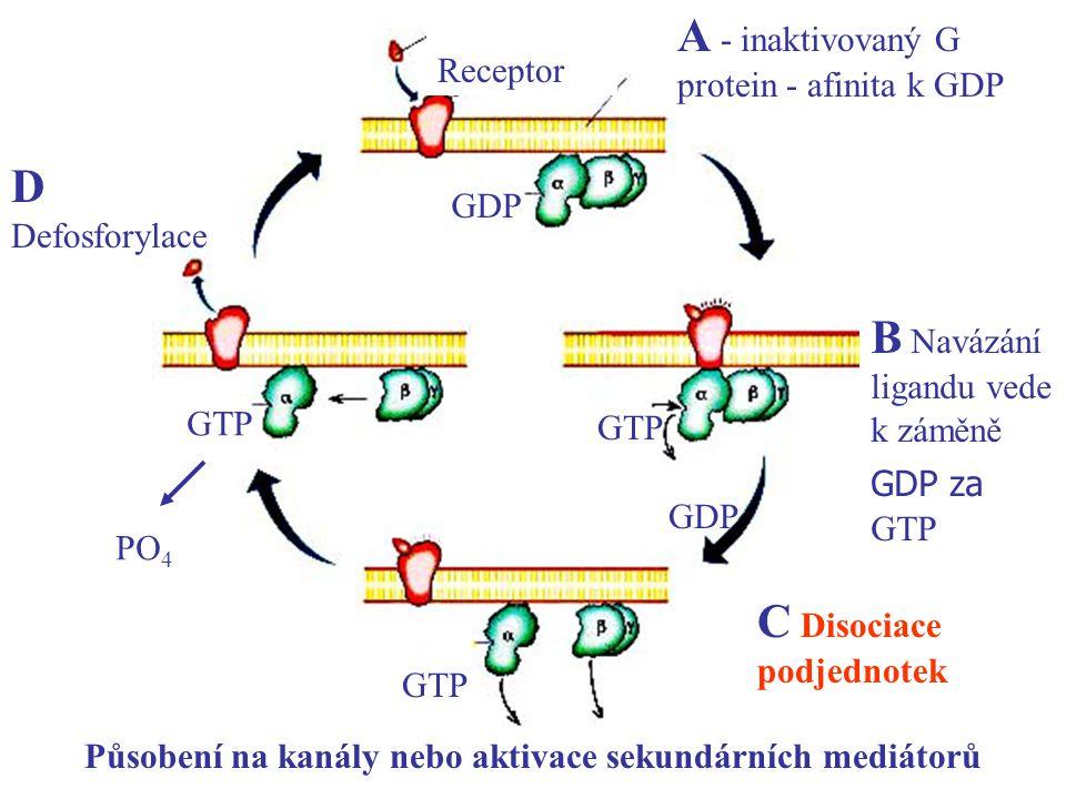 Receptor A - inaktivovaný G protein - afinita k GDP GDP GTP GDP GTP PO 4 B Navázání ligandu vede k záměně GDP za GTP C Disociace podjednotek Působení